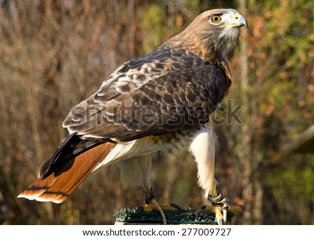 A female Red Tailed Hawk looking over to her right - stock photo