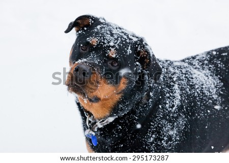 A female Rottweiler covered in falling snow with a curious look. - stock photo