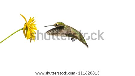 A female ruby throated hummingbird (archilochus colubris) approaching a yellow flower, isolated on white. - stock photo