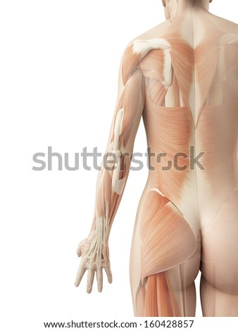 a female���´s back muscles - stock photo