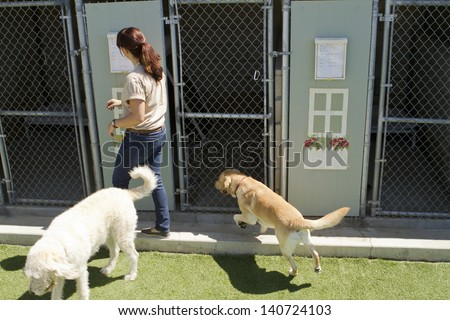 A female staff member at a kennel supervises several large dogs playing together. - stock photo