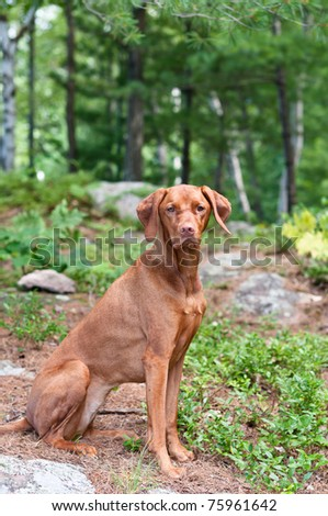 A female Vizsla dog sits in a wooded area. - stock photo