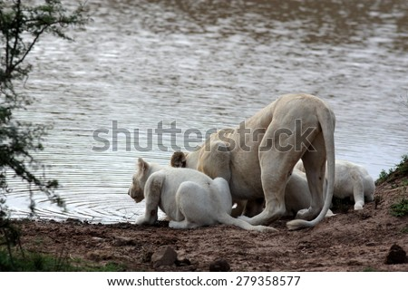 A female white lion and her cubs having a drink of water. South Africa - stock photo