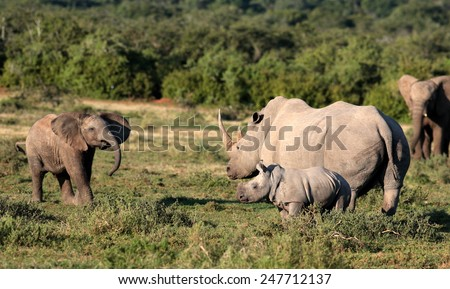 A Female white rhinoceros and her calf find themselves surrounded by a herd of African elephant in this unique image of two of the big five together. - stock photo