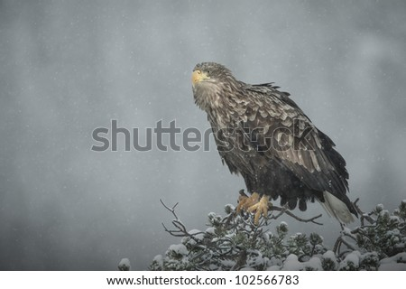 A female White-tailed Eagle perched on top of a stunted pine tree in heavy snow. Light reflected off the snow in the tree top is under lighting her face slightly. - stock photo