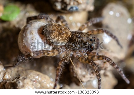 A female wolf spider carries her egg sac through the undergrowth - stock photo