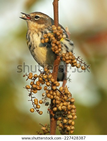 A female Yellow-Rumped Warbler stops to dine on a seedpod during her migration south. - stock photo