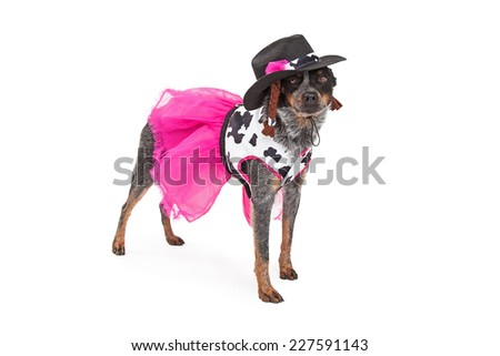 A festive Australian Cattle Dog dressed as a beautiful cowgirl standing. - stock photo