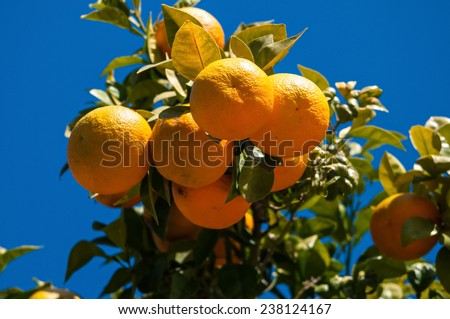 A few bitter oranges in her tree in any street of a spanish town - stock photo