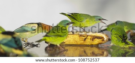 A few female Blue Dacnis with a Black-backed Tanager eating banana. They are beautiful orange, light blue and green birds. One of them in yelling at the others. - stock photo
