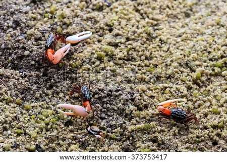 A fiddler crab, sometimes known as a calling crab, is Found in mangroves, in salt marshes, and on sandy or muddy beaches - stock photo
