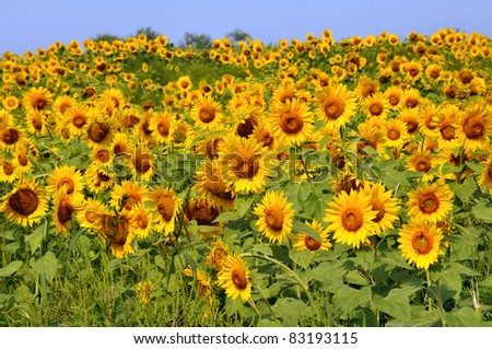 A field full of bright yellow sunflowers waiting to be picked - stock photo