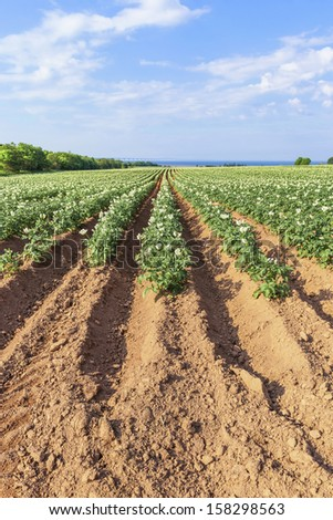 A field in rural Prince Edward Island, Canada of potato plants in full flower. Confederation Bridge is at the distant horizon. - stock photo