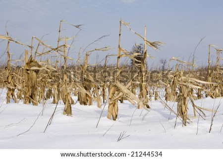 a field maze and corn in winter - stock photo