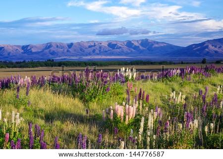 A field near Tekapo full of Foxglove flowers in New Zealand. - stock photo