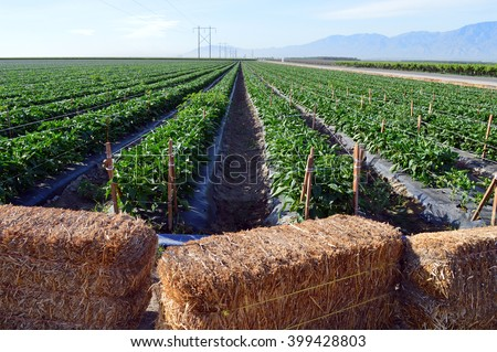 A field of bell peppers growing near Coachella, California. - stock photo