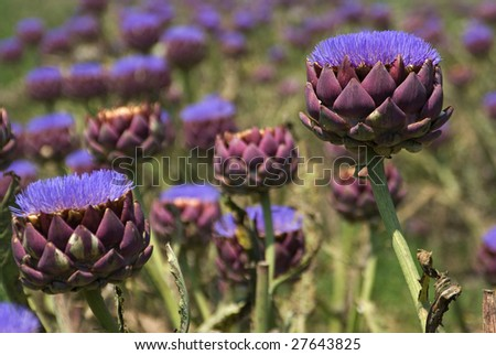 A field of bloomed artichokes - stock photo