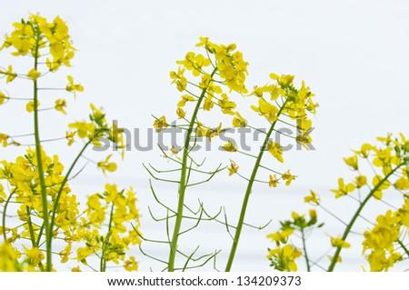 a field of blooming rape flowers - stock photo