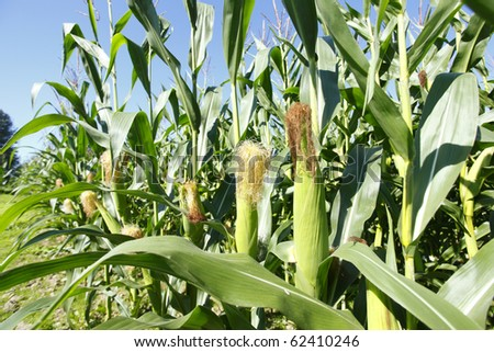 A field of corn as a crop. - stock photo