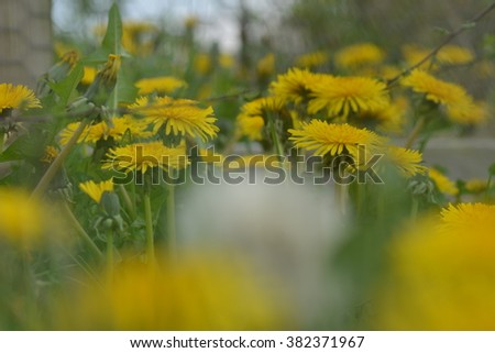A field of dandelions, and one lone seed head - stock photo
