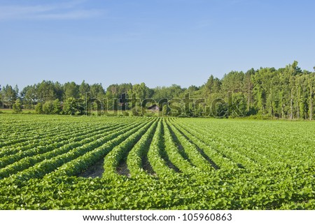 A field of early cotton plants. - stock photo