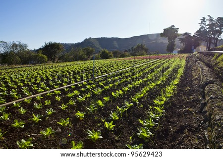 a field of green lettuce under the sun - stock photo