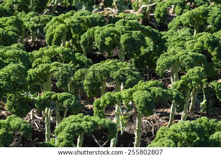 A field of kale, a leafy vegetable. - stock photo
