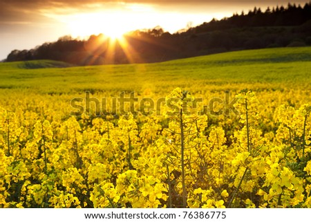 A field of rapeseed flowers with the setting sun creating a sunburst effect in the background. - stock photo
