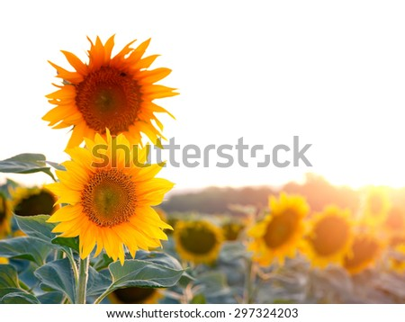 A field of sunflowers.  - stock photo