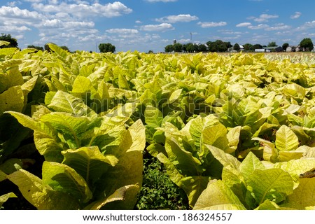 A field of tobacco growing in Lancaster County Pennsylvania - stock photo