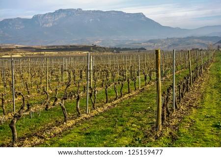 A field of vineyard in Haro (La Rioja, Spain) - stock photo