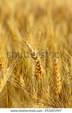A field of wheat at sunset - stock photo