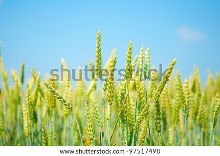 a field of wheat on blue sky background - stock photo