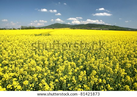 A field with flowering yellow oilseed rapeseed - stock photo