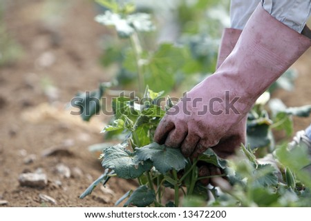 a field worker collects vegetables - stock photo