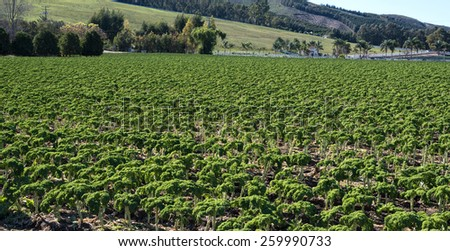 A fiele of kale,  leafy vegetable. - stock photo