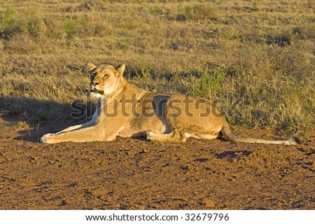 A fierce Lioness stares at the photographer - stock photo
