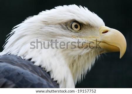 A fierce looking bald eagle ready to attack. - stock photo
