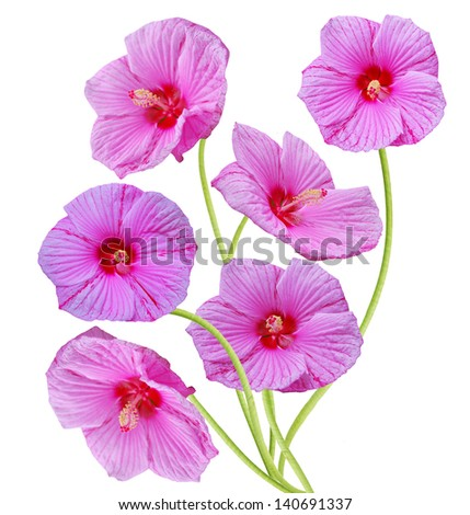 A finest hibiscus flowers - stock photo
