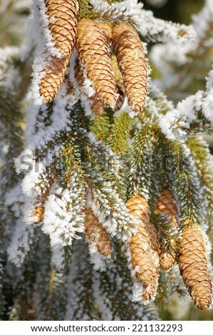 a fir cone on a branche in winter - stock photo