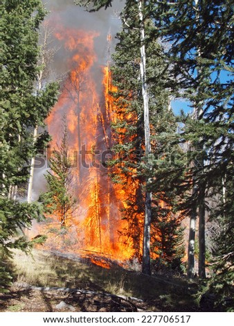 A fire burns in an aspen and fir forest. - stock photo