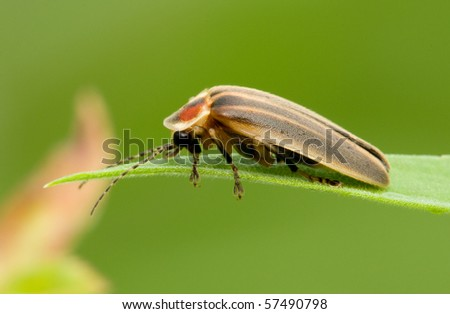A firefly resting on a blade of grass in the early morning - stock photo