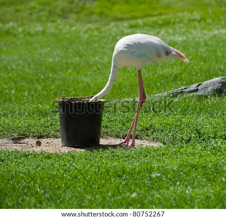 a flamingo bird hiding his head in a bucket - stock photo