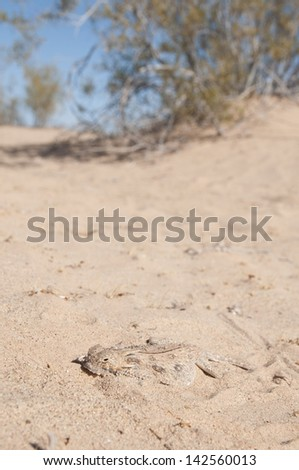 A flat-tailed horned lizard in its native habitat. - stock photo