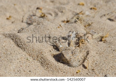 A flat-tailed horned lizard still sleeping in the morning.  They sleep by burying themselves in the sand. - stock photo