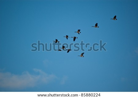 A flock of Canada geese (branta canadensis) fly through a blue sky. - stock photo