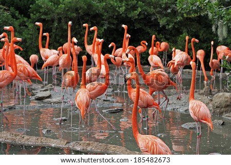 A flock of Flamingo's in their natural habitat - stock photo