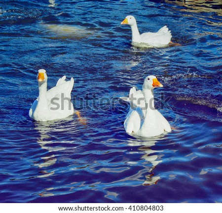 A flock of geese flapping wings floating on the pond. - stock photo
