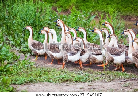 a flock of geese in the poultry farm - stock photo