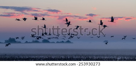A flock of Sand-hill cranes flying out to gather food at the break of dawn. - stock photo